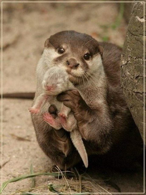 Otters :): Cute Baby, Baby Otters, Proud Mom, Baby 3, Baby Animal, Mommy And Baby, New Baby, Sea Otters, So Sweet