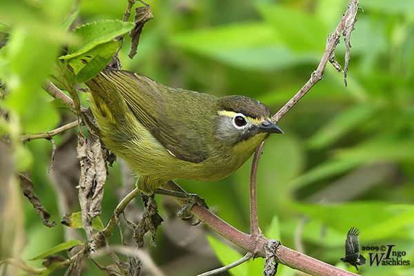Cream Browed Ibon Lophozosterops Superciliaris By Ingo Waschkies Beautiful Birds Bird Animals