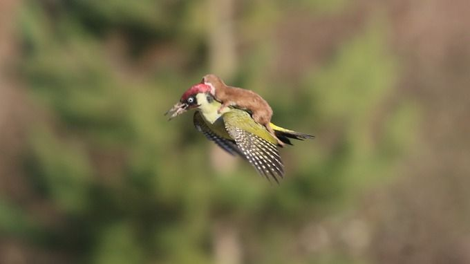 The stunning image was captured in Hornchurch, Essex earlier today. Woodpecker with a weasel on it's back. Both managed to survive the conflict.