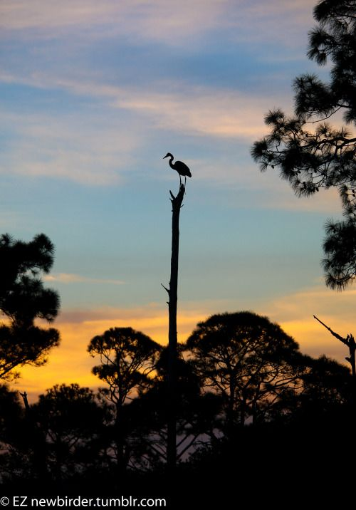 This Great Blue Heron was perfectly framed by the sunset in the background. Photographed in Veteran's Park on Okaloosa Island.Check out more exploration stories on my new website:oneworldtwofeet.com