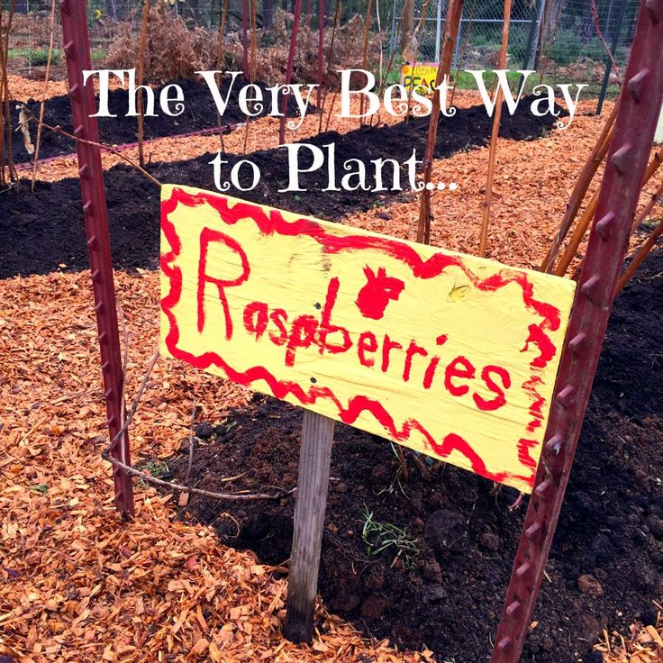 Step-by-step instructions on how to build raspberry beds that will be drought tolerant, self-feeding and abundantly productive for decades! I have been planting, digging up and replanting, and giving away bucket loads of raspberry canes every winter and...