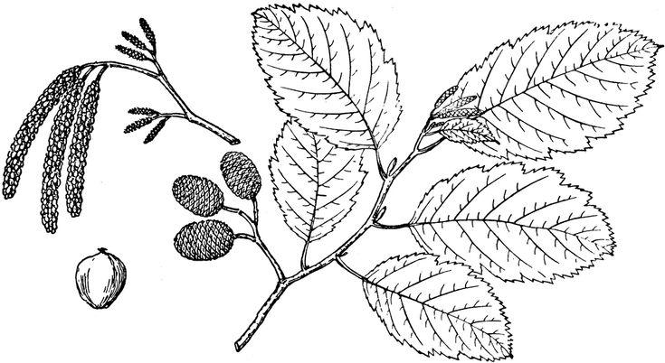 Branch of Grey Alder