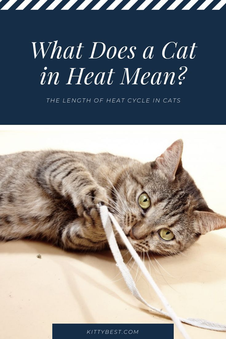 The Length Of Heat Cycle In Cats Cat Care Cats Cat Species