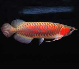 Sclerophages formosus, or super-red arwana, the most expensive fish from Kapuas River, West Borneo - Indonesia