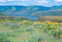 Rowena wildflowers offer a breathtaking view on the Columbia River Gorge National Scenic Area in Oregon. The area is only 85 miles long and 4,000 feet deep on about 293,000 acres, of which about 25,000 acres are wilderness. But there is plenty to be seen, including more than 1,000 historic buildings and archeological sites, 800 species of wildflowers, 44 species of fish and 200 species of birds.