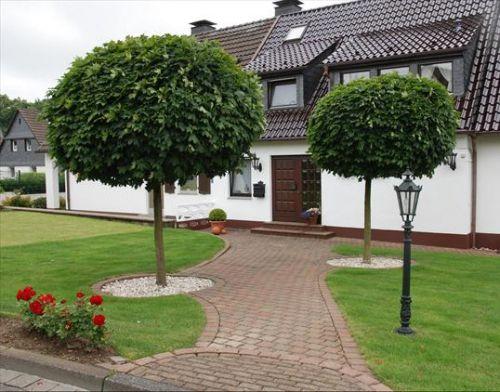 Díszfák : Acer platanoides globosum / Gömb juhar