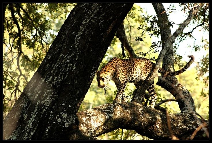 Young leopard playing in a big jackal berry tree at Shiduli Lodge by Simon Riekert