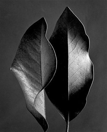"Ruth Bernhard ""Two leaves"""