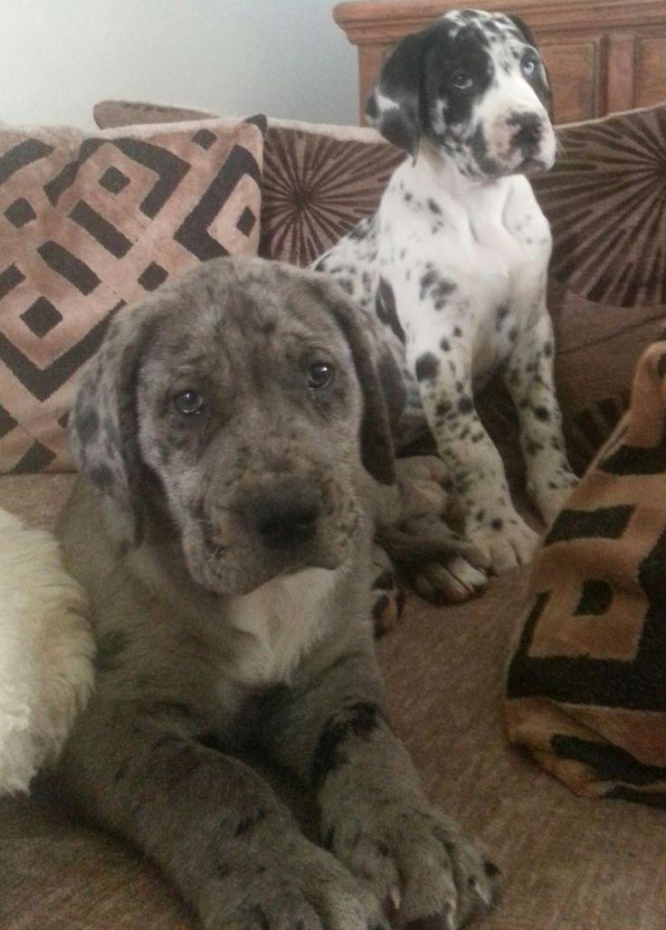 Great Dane Cross Bullmastiff Puppies 11 Weeks Old Have Been Reared In Family Hom Deutsche Doggen Bullmastiff Cr Big Puppies Dane Puppies Cute Puppies