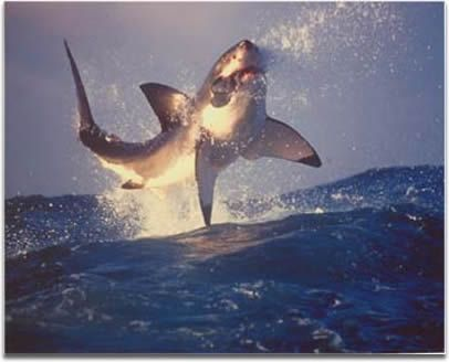 great white breaching in off of Cape Town Africa---- Someday I will get there!