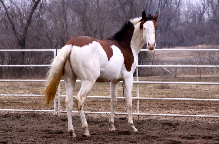 31 best images about Horse Color: Splash White on ...  Splashed White Horse