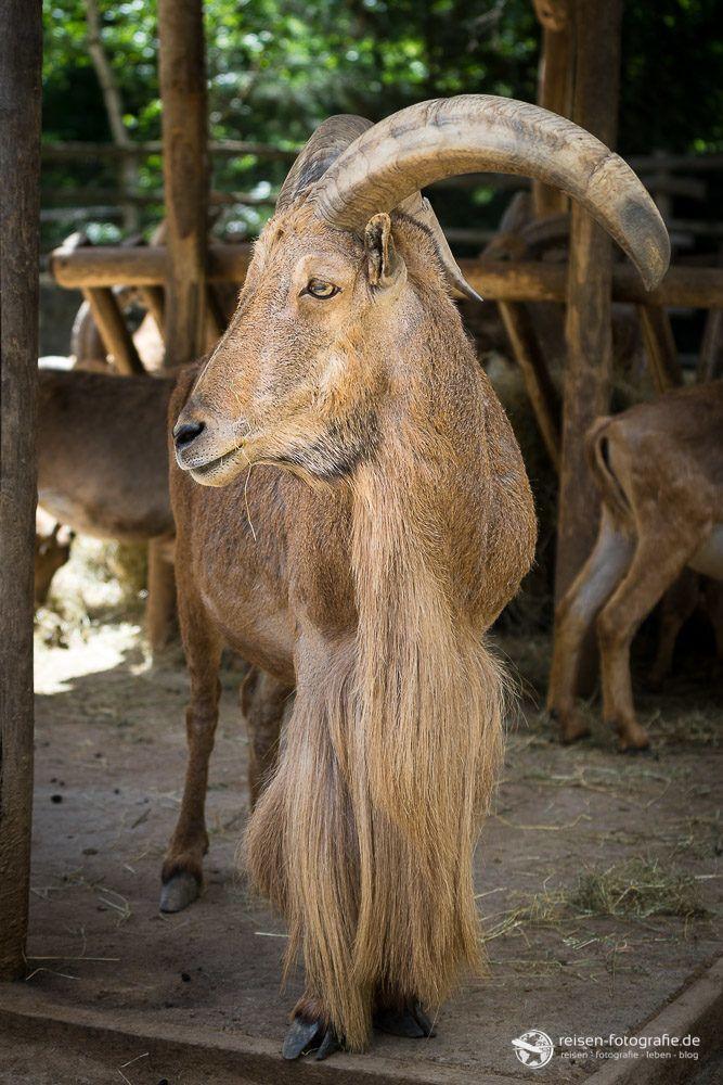 Ziegenbock im Zoo Amneville
