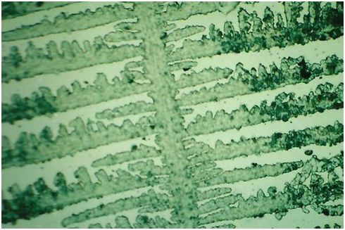 Cristalización de la saliva. Forma de helecho = estadío fértil de la mujer.