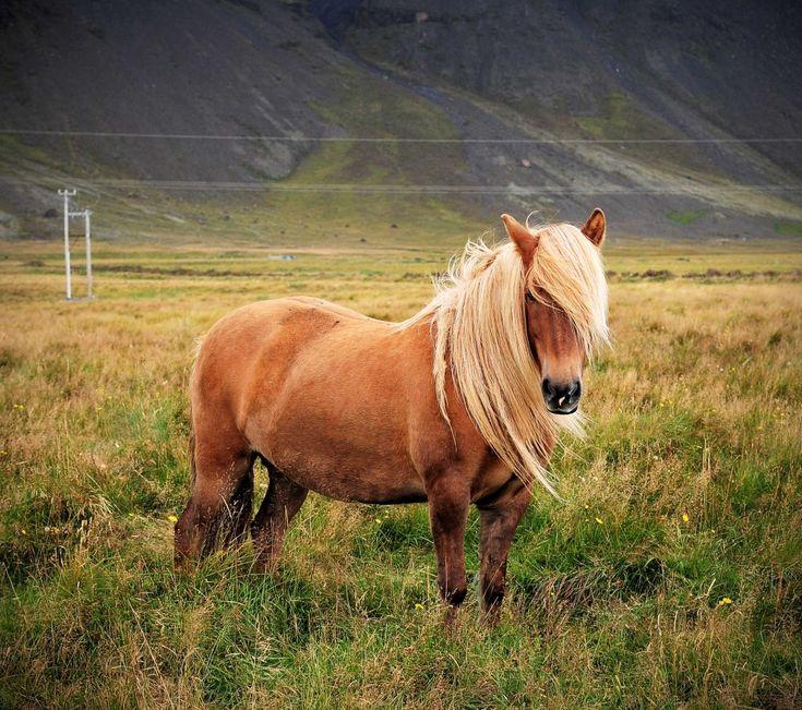 Icelandic HorsePretty Hors, Hors Crazylovableanim, Beautiful Animal, Beautiful Hors, Iceland Ponies, Hors Photos, Beautiful Creatures, Hors Photography Tips, Iceland Horses