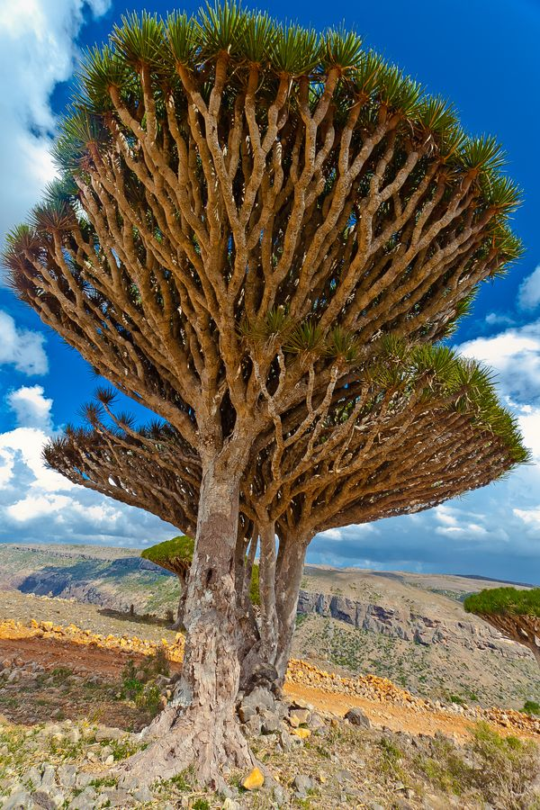"""""""of dragon's blood trees""""**."""