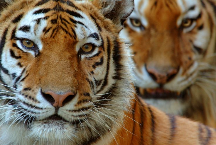 SIBERIAN TIGER VS BENGAL TIGER - Siberian tiger and also Bengal tiger are both sub-species of Panthera tigris. There are types of tiger that many difference