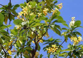 Image result for native frangipani