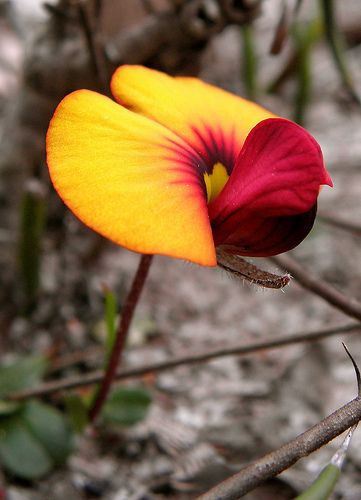 Native SW Australian Pea Flower, Western flats of Stirling Range National Park, Western Australia | Laura West
