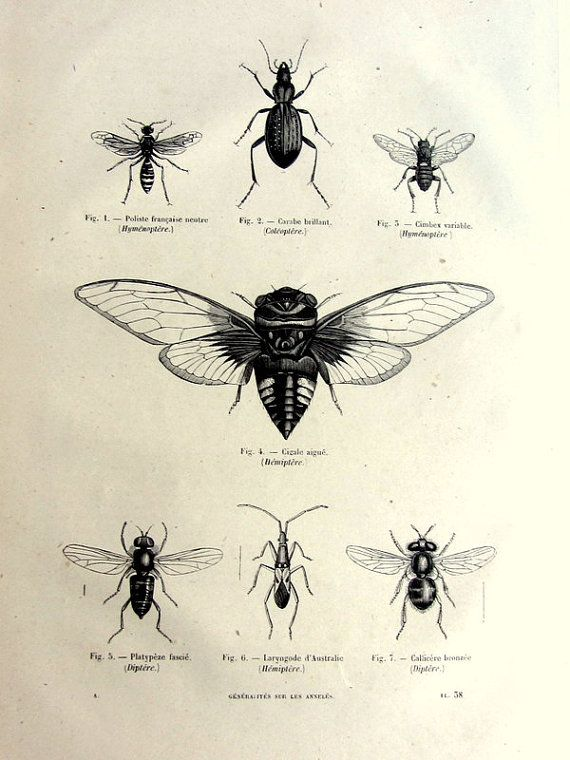 Vintage french insects print, antique original 1860 wasps bees engraving, cicada plate illustration, insect fly zoology animal for framing. Cicada tattoo?