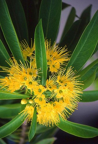 Golden Penda (Xanthostemon chrysanthus) Flowers & leaves