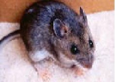 Learn more about Clegg's rats and mice control service!
