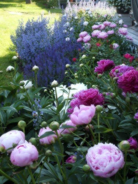 Wenn die Zeit für Pfingstrosen gekommen ist strahlt das Blumenbeet in vollen Zügen