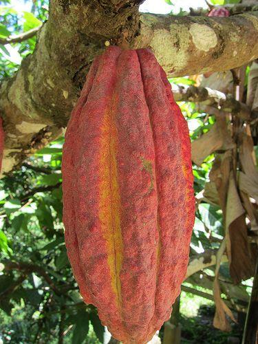red Cacao pod near Lemo, Tana Toraja region of Sulawesi, Indonesia