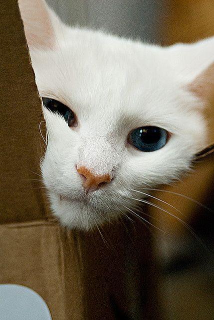 .Cats, Funny Kitty, Cardboard Boxes, Catskitten Purr, Catswhat El, Beautiful, Feline, Animal, White Cat