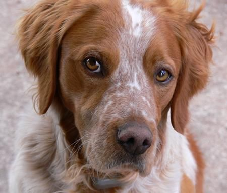 Dog breed - brittany