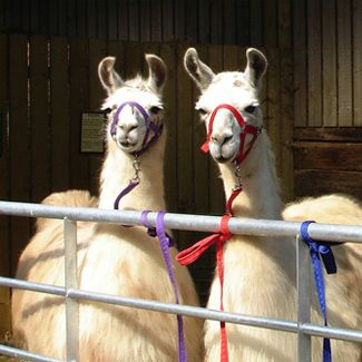 The Llama Park is a great place for Christmas Shopping ideas.  Visit the shop for fantastic alpaca wool clothes, children clothes and a range of gift ideas.  Have you thought of giving a voucher to take a llama for a walk!  Then relax in the cafe in front of a blazing fire!  www.llamapark.co.uk