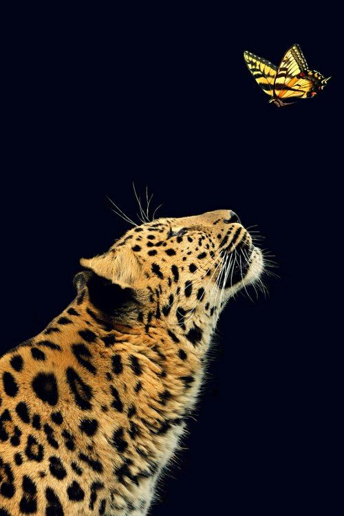 How Amazing!!!! Spotted Leopard and Gold-Black Butterfly