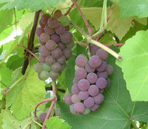 Vitis 'Fabel', vinranka. Kan odlas utomhus på varm plats.