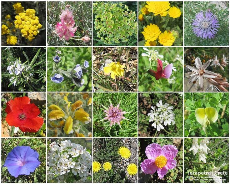 Spring flowers I  Eastern Crete, April, 2012    Copyright: Ia Löfquist