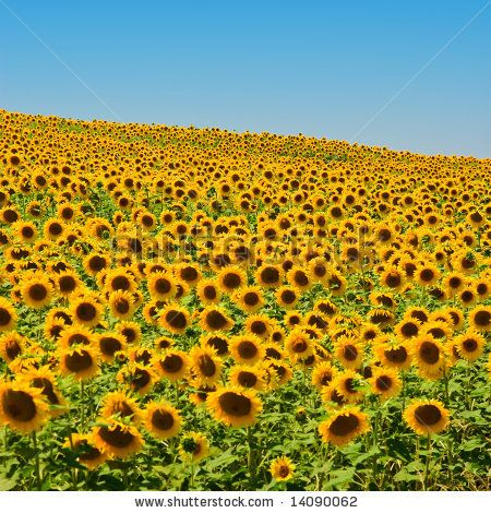 stock photo : A field of sunflowers, in the south of France. @Denna Hamilton