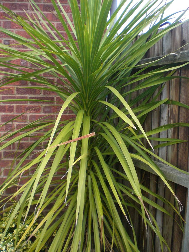 Yucca Plant Care Tips Growing Advice: Care And Pruning: Tips For Pruning A Yucca