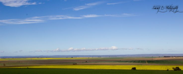 Canola Fields, Southern Cape, South Africa