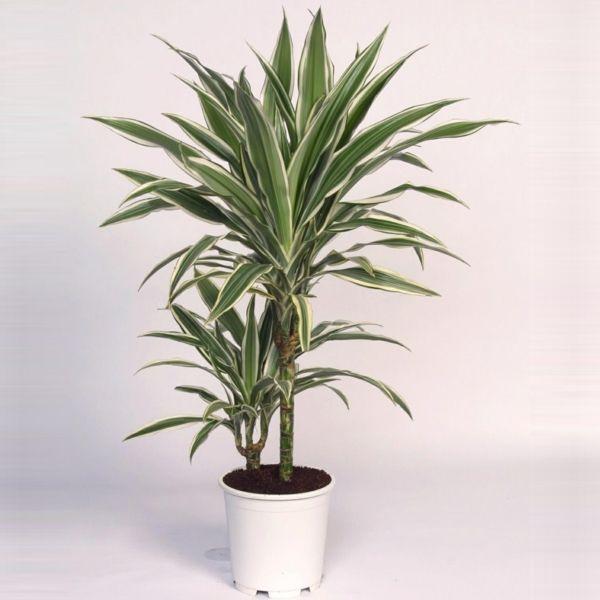 Guncel Haberler Dekorationn Drachenbaum Pflanzen Drachen