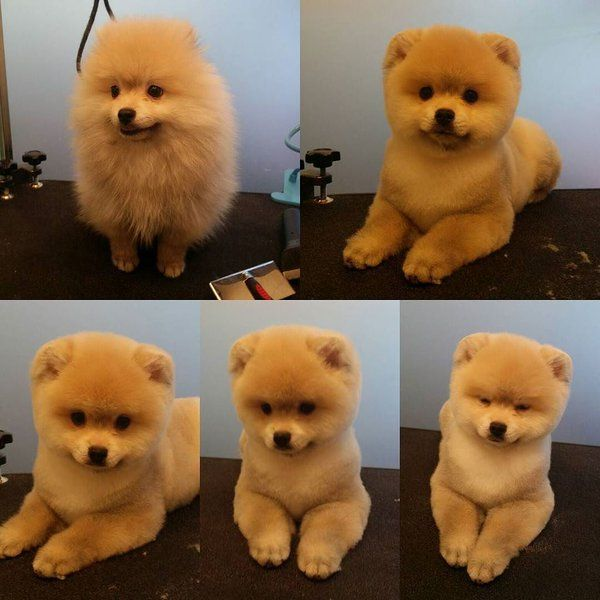how to cut pomeranian hair best 25 pomeranian haircut ideas on pinterest 9871