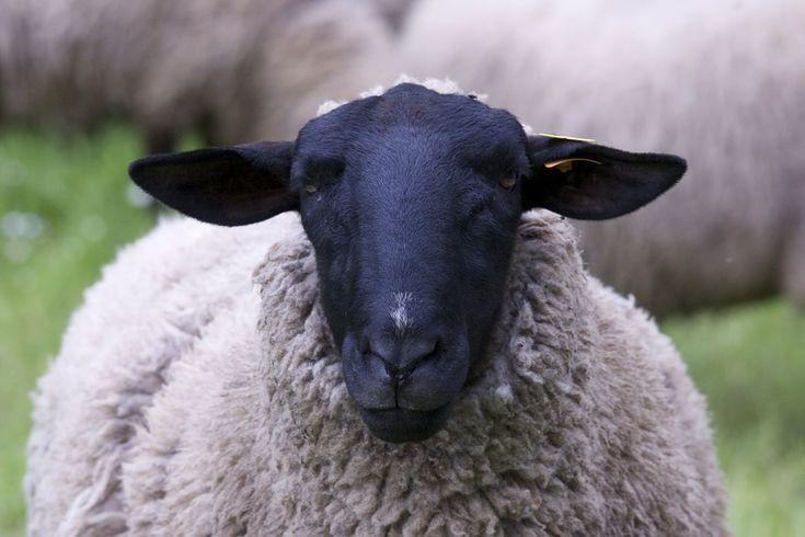 Nawet mając pejoratywne konotacje miano czarna owca używane jest jako nazewnictwo lokali kulturalnych. Nie jest to osobliwe ponieważ wszelkie tego rodzaju terminy nietrudno jest spamiętać, ponadto interesująco brzmią. Czarna owca zalicza się do najpopularniejszych zbitek leksykalnych i nie ma chyba nikogo kto o nim by nie słyszał. Najważniejsze żeby samemu nigdy nie zostać czarną owcą lub nie uzyskać takiej opinii.