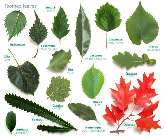 Rogers Trees and Shrubs Toothed Leaves