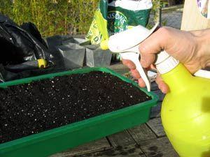 faire des semis de tomates