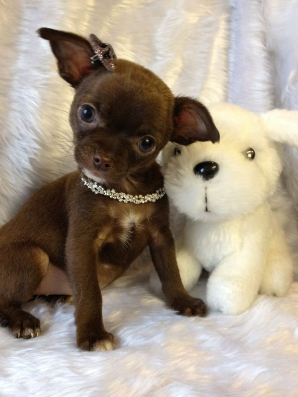 Chocolate Chihuahua Smooth Coat Chihuahua Puppies Cute