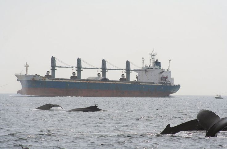 Listening To Whale Migration Reveals A Sea Of Noise Pollution, Too - NPR #Whales, #Migration, #Oceans, #Science