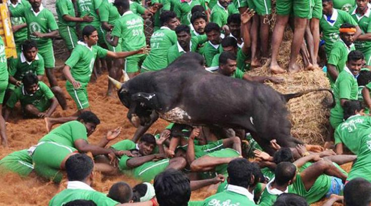 Central Government allows Jallikattu in TN - http://odishasamaya.com/news/india/central-government-allows-jallikattu-in-tn/71324
