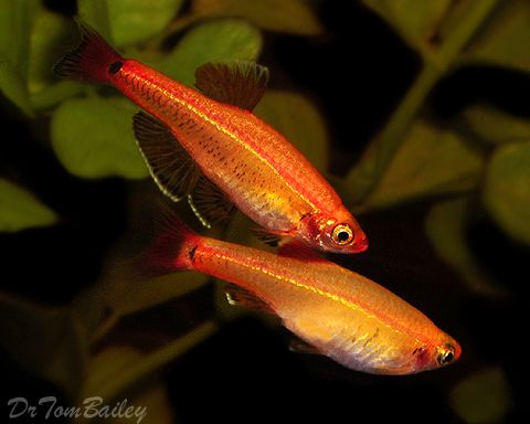 Gold White Cloud Mountain Minnow | Fish Ideas | Pinterest ...