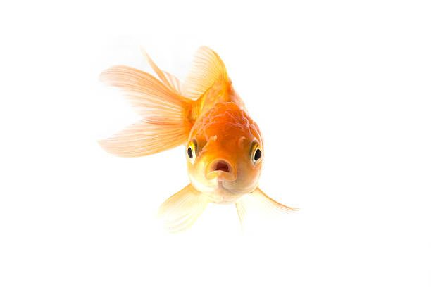 Golden Koi Fish Scared Isolated On White Background Stock Photo Goldfish Koi Fish Fish