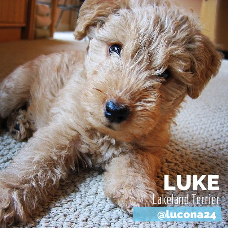 Have you ever seen seen a Lakeland Terrier? This is the lovely Luke – just sooo cute!! #pet #lakelandterrier