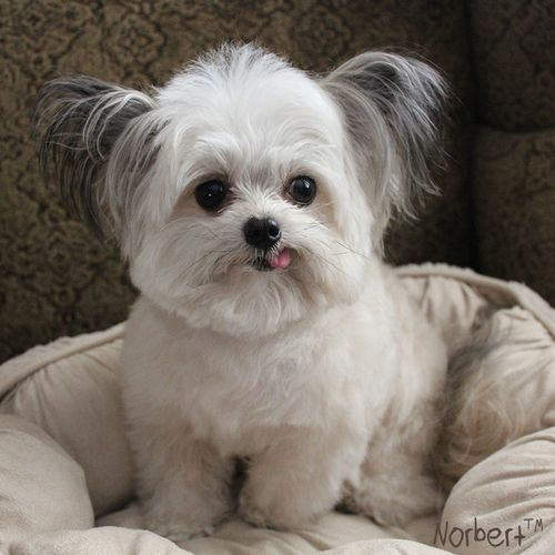 Mixed Breed Dog Chihuahua Cairn Terrier Lhasa Apso