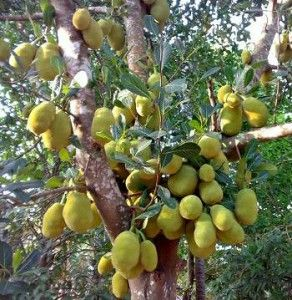 Jackfruit tree has a long life of more than 100 years. It bears the biggest fruits in the world, which weight anywhere between 10 – 110lb.