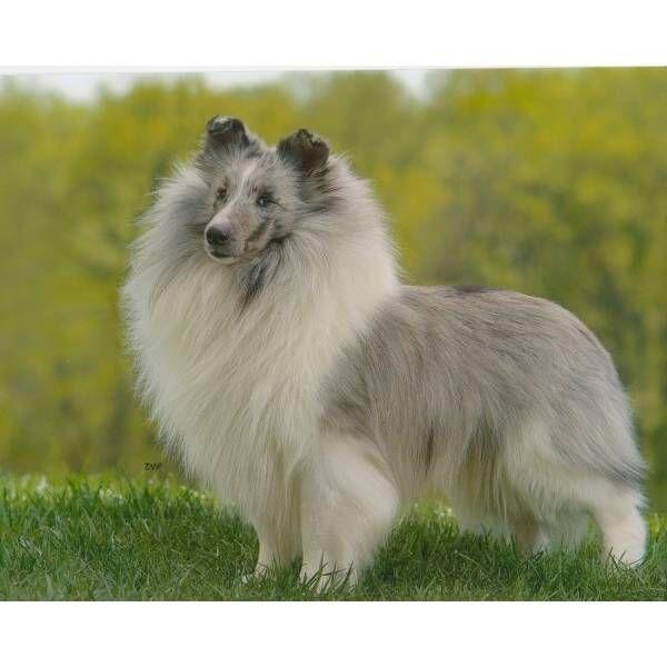 Shetland Sheepdog - Sheltie for sale. A cute female Shetland Sheepdog - Sheltie puppy for sale in Buckeye, AZ 85326.
